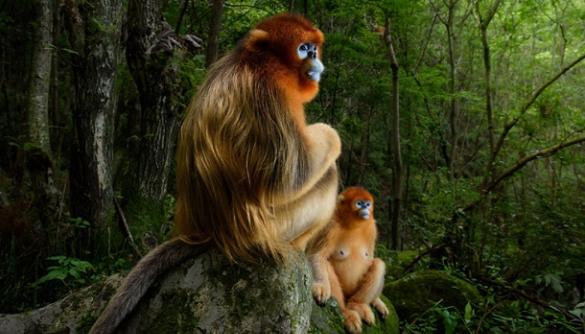 У конкурсі Wildlife Photographer of the Year перемогли фото з мавпами та леопардом