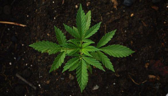 «Наркоопитування»: у токшоу маніпулювали довкола запитання про медичну марихуану