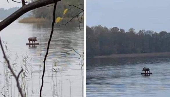 Інформація про вепра, який пливе на плоті до Луцька, виявилась фейком