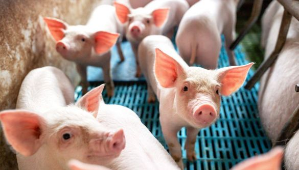 Санкції США змусили Huawei зайнятися свинарством